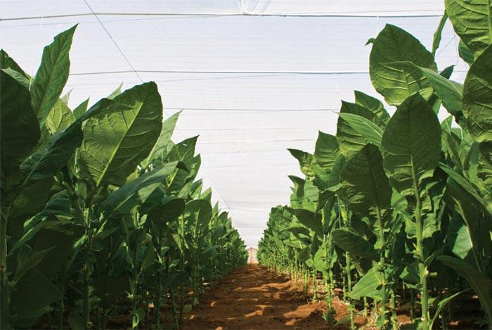 Tabac cultivé à l'ombre