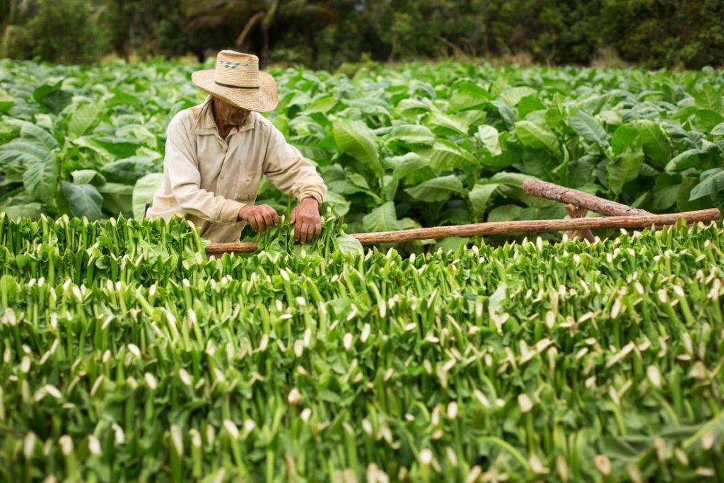 récolte du tabac